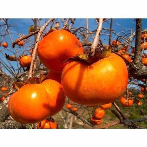 (50 Japanese Persimmon Tree Seeds, Diospyros Kaki)