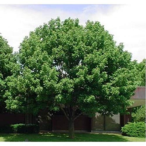 10 White Ash Tree Seeds, Fraxinus Americana,- Limits