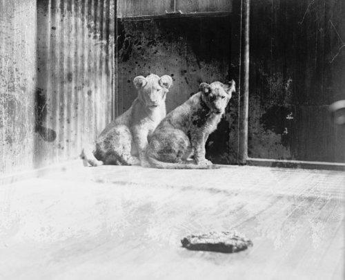 1927 photo Coolidge lion cubs gift from Africa, 4/27/27 Vintage Black & White d4 by Historic Photos