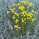 Santolina (Lavender Cotton) chamaecyparissus tomentosa Santa 1,000 seeds