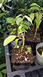 "9EzTropical - Cinnamon (Cinnamomum zeylanicum) - 1 Starter - 3"" Tall - Ship in 3"" Pot"