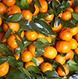 Mandarin Orange Dwarf Seeds Indoors Outdoors Fruit Tree...