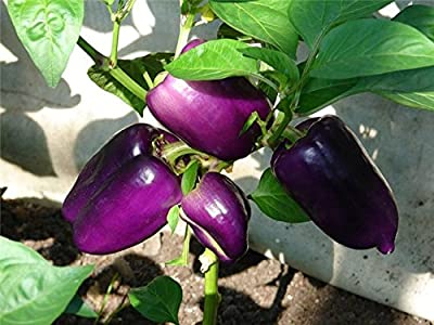 Sweet Pepper seeds vegetable Lilac Bell seeds ultra early