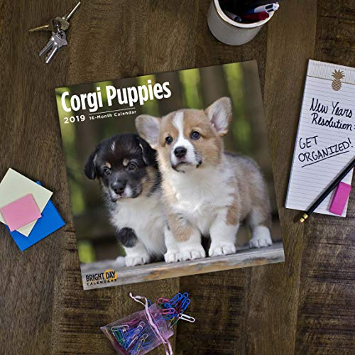 Corgi Puppies 2019 16 Month Wall Calendar 12 x 12 Inches by Bright Day Calendars (Image #3)