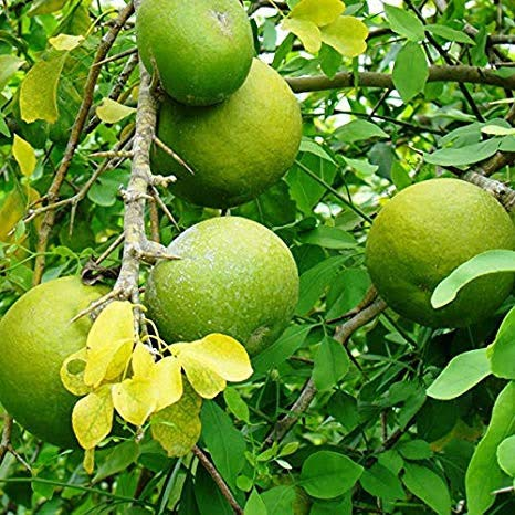 Plant Bel Tree, Bilva Patra, Bel Patra (Grown through seeds ...
