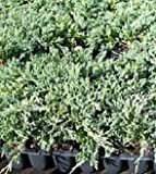 juniper blue rug - Sandys Nursery Online Juniper Blue Rug Ground Cover 1 Tray - 30 plants.