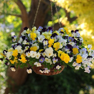 Trailing Pansy - Cool Wave Mix - Flower Seeds - 100 (Pan Viola)