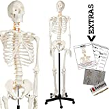Axis Scientific Human Skeleton Model Image
