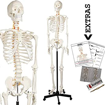 "axis scientific human skeleton anatomy model, 5' 6"""
