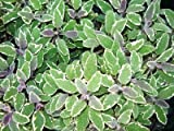 Tri-color Sage Live Herb Plant