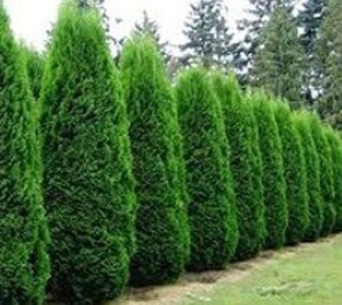 2 Emerald Green Arborvitae Plants(Thuja occidentalis 'Eme...
