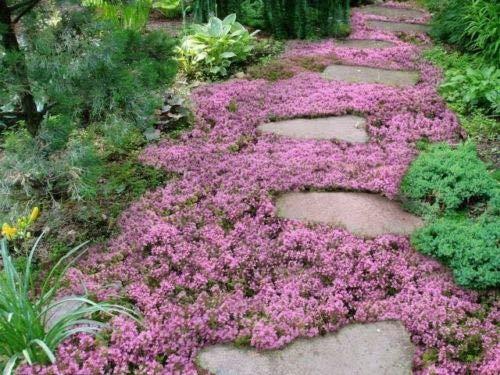 Pink Ground Cover - 10,000 Creeping Thyme Herb Thymus Serpyllum Groundcover Heirloom Flower Seeds 2g