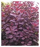 Royal Purple Smoke Tree (smokebush) - Live Plant - Trade Gallon Pot