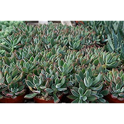 2 Rooted Cuttings Echeveria Pulv-Oliver 2-6