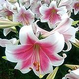 Leoie 20Pcs Lily Seed Bonsai Planting Flower Lilium Planting Decoration