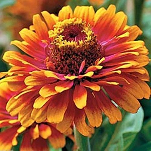 Zowie! Yellow Flame Zinnia 20 Seeds Bold! Bright! Beautiful! That's What It Is! (What Planting)