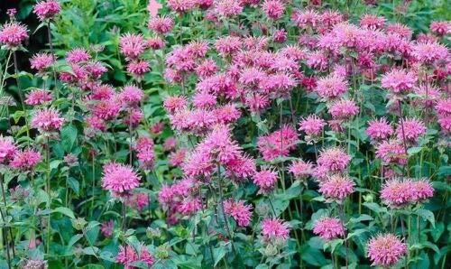 Pink Marshall's Delight Monarda Bee Balm Perennial Nectar Butterflies Pollinator