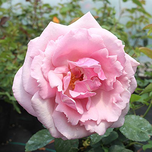Own-Root One Gallon Memorial Day Hybrid Tea Rose by Heirloom Roses by Heirloom Roses (Image #2)