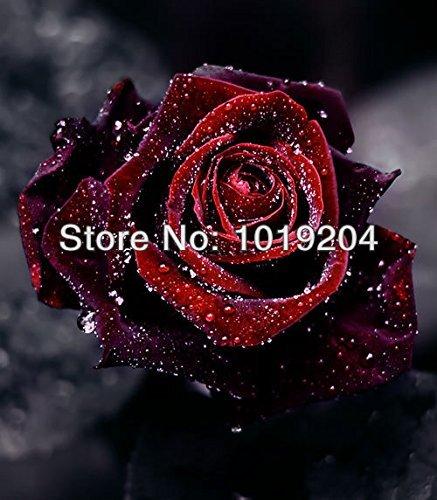 (200 Rose Black Baccara (Hybrid Tea Rose seeds),Deep Red ,delicately scented ,DIY Bonsai or Yard cut rose flower plant)