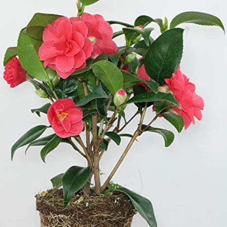 Vamsha Nature Care Live Camellia Flower Plant In Pot Amazon In