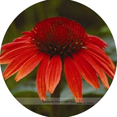 Red Ruby Echinacea - Heirloom Red Ruby Echinacea Perennial Coneflower Seeds, Professional Pack, 200 Seeds / Pack, Very Beautiful Long Lasting