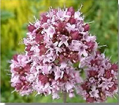 100+ Sweet Marjoram Origanum Majorana Purple Herb Flower Seeds