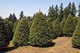 Douglas Fir Tree Christmas Tree - 100 Seeds