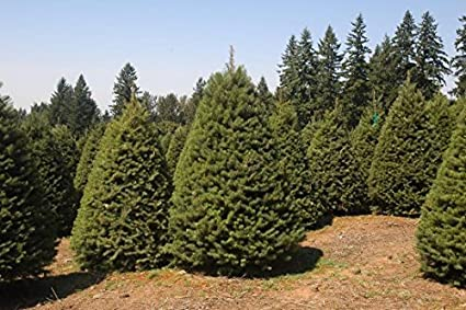 Douglas Fir Tree Christmas Tree - 500 Seeds - Amazon.com : Douglas Fir Tree Christmas Tree - 500 Seeds : Garden