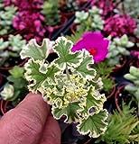"Geranium 'Prince Rupert Variegated' (Pelargonium Hybrid)'French LACE' 2"" Pot"
