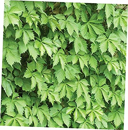 Amazon Com Qio Plants 5 Virginia Creeper Plant Perennial Live Rooted Cuttings Ground Cover Hardy Vine Rk25 Garden Outdoor,White Cloud Mountain Minnow Fry