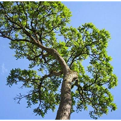 Cedrela Odorata, CEDRO spanish cedar timber tree tropical aromatic wood 15 seeds : Garden & Outdoor