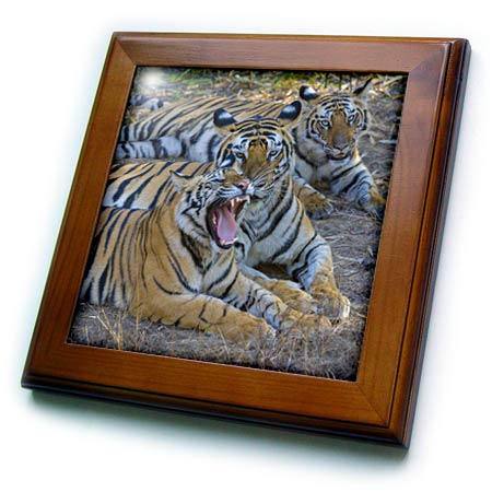 - 3dRose Danita Delimont - Tigers - Bengal Tigers, Bandhavgarh National Park, India - 8x8 Framed Tile (ft_312704_1)
