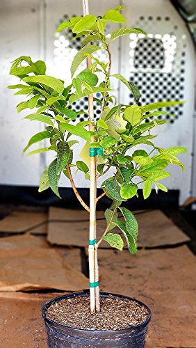 Annona Squamosa Sugar - Annona squamosa, Sugar Apple - 3 Gallon Live Plant