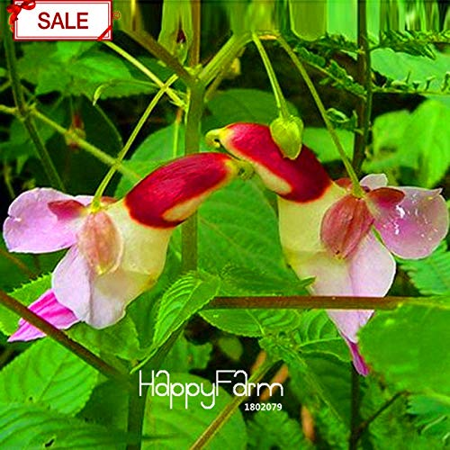 Blooming Flower Tea Chinese Parrot Orchid Seed Best-Selling!China Rare Parrot Orchid Flower Plants Worlds Rare High Grade Bonsai Garden Home Plantas 50 Particles/Pack,#WZ671N