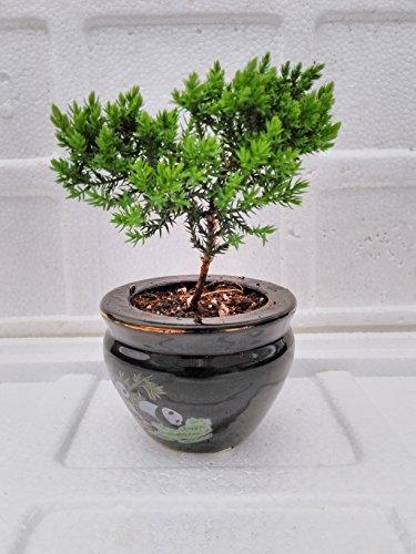 jmbamboo - Juniper Tree Bonsai panda Best Gift