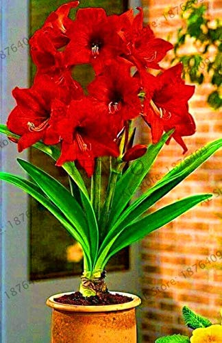 Amaryllis Bulb Double Flower 1 - Go Garden Sale!1 Big Bulb Double Petals Amaryllis Bulbs Not Plant Perennial Garden Bonsai Flower Bulbs, Hippeastrum Flowers Lily Potted Pla: 4