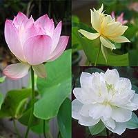 20pcs 3 Colors Mixing Bowl Lotus Seeds Perennial Aquatic Herb Flower