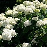 Annabelle Hydrangea, smooth arborescens shrub bush white summer blooms PRESALE