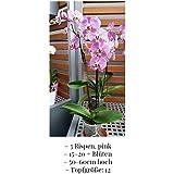 Phalaenopsis orchidea, rosa, 3 chiodi, min. 15 fiori, dimensioni del piatto 12, 50-60cm alta