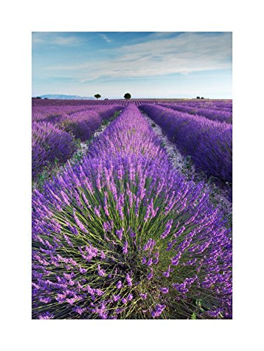 LAVENDER FIELD PROVENCE FRANCE MORNING FLOWERS PHOTO PRINT PICTURE F12X475