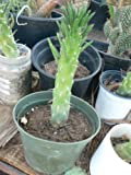 1 Cacti Live Rooted of Austrocylindropuntia Subulata - Asparagus Eve'sneedle Cholla