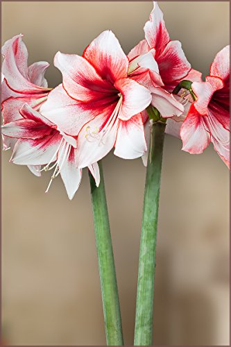 Amaryllis Bulb Red and White Amaryllis Temptation - 28/30cm Bulb - Outstanding Indoor Blooms!