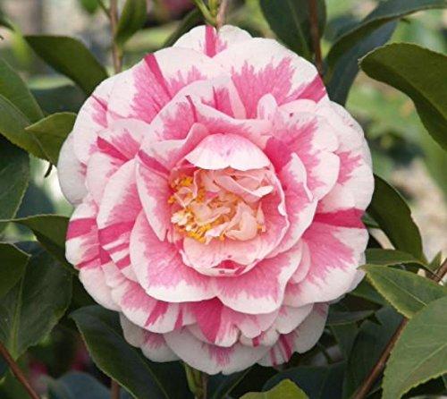 jordans-pride-camellia-japonica-live-plant-4-inch-pot