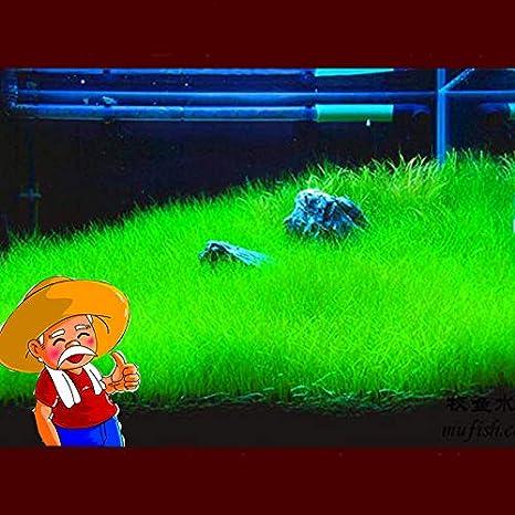 Semilla Decoración del tanque de peces Mini hierba Hariy Acuario ...
