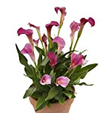 "Neon Amour Calla Lily Bulb 1 3/4"" x 2"" - Hot Pink to Red"