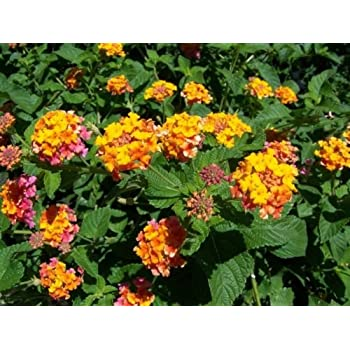 Amazoncom Lantana Camara Miss Huff Hardy Lantana Seeds Garden