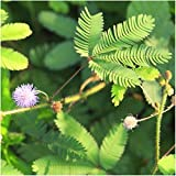 Seed Needs, Sensitive Plant (Mimosa Pudica) Twin