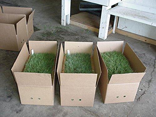 Latitude 36 Bermuda Grass Plugs