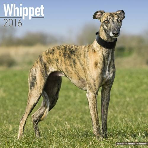 Whippet Calendar - Breed Specific Whippet Calendar - 2016 Wall calendars - Dog Calendars - Monthly Wall Calendar by Avonside