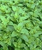MINT - Mentha piperita - Garden peppermint - 1000 seeds